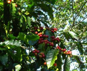 Kaffee Pflanze mit grünen und roten Kirschen